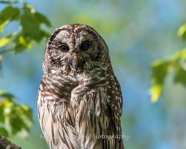 Barred Owl VA 2 May 2018-2138