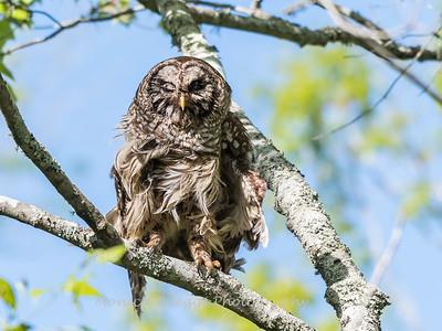 Barred Owl VA 2 May 2018-2054