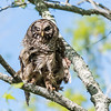 Barred Owl VA 2 May 2018-2054
