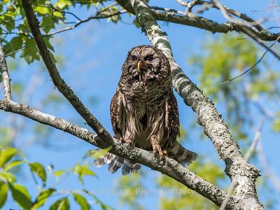 Barred Owl VA 2 May 2018-2067