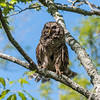Barred Owl VA 2 May 2018-2067