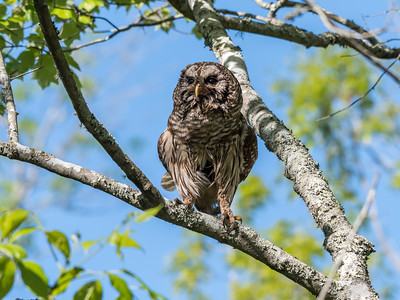 Barred Owl VA 2 May 2018-2070