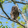 Barred Owl VA 2 May 2018-2070