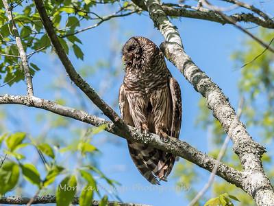 Barred Owl VA 2 May 2018-2091