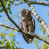 Barred Owl VA 2 May 2018-2091