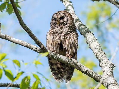 Barred Owl VA 2 May 2018-2061