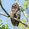 Barred Owl VA 2 May 2018-2061