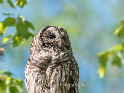 Barred Owl VA 2 May 2018-2142