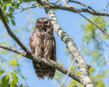 Barred Owl VA 2 May 2018-2097