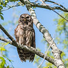 Barred Owl VA 2 May 2018-2097
