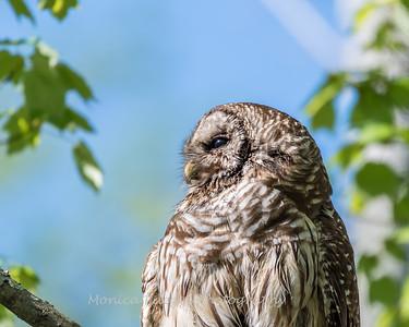 Barred Owl VA 2 May 2018-2147