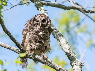 Barred Owl VA 2 May 2018-2058