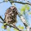 Barred Owl VA 2 May 2018-2058