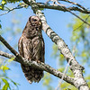 Barred Owl VA 2 May 2018-2085