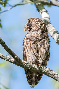 Barred Owl VA 2 May 2018-2149