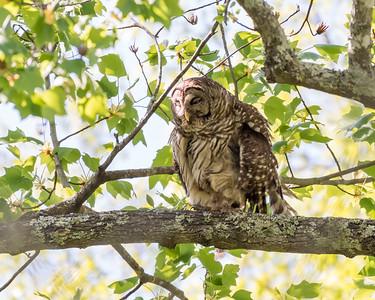 Barred Owl VA 2 May 2018-2180