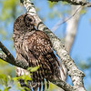 Barred Owl VA 2 May 2018-2047