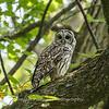 Barred Owl 27 Aug 2018-5970