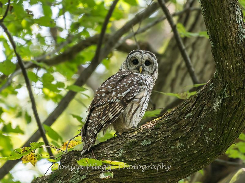 Barred Owl 27 Aug 2018-5968
