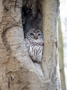 Barred-Owl-26 Feb 2017-7711