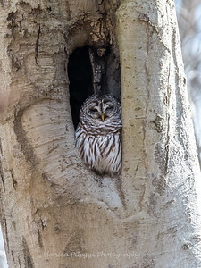 Barred-Owl-26 Feb 2017-7652