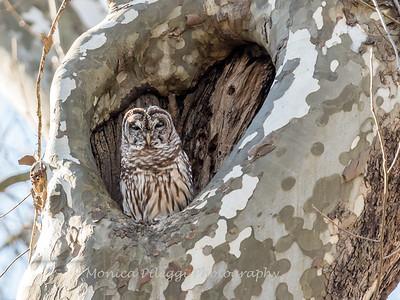 Barred-Owl-26 Feb 2017-7785