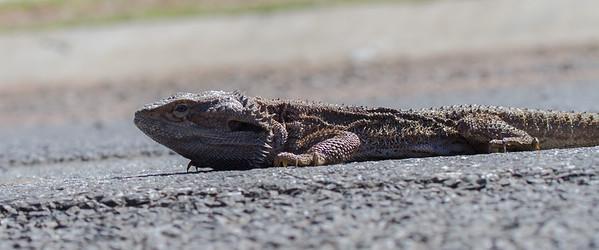 Bearded Dragon - Lockyer Valley, Queensland