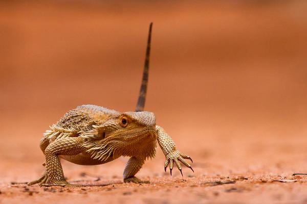 Central Bearded Dragon (Pogona vitticeps) - Gluepot, South Australia