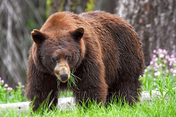 Black Bear - © edhughesphoto.com 200