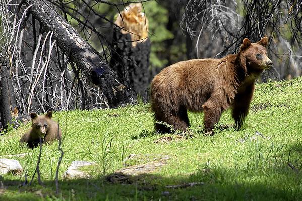 Black Bear - © edhughesphoto.com 2007