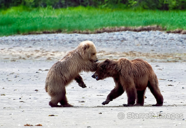 Bears sparring