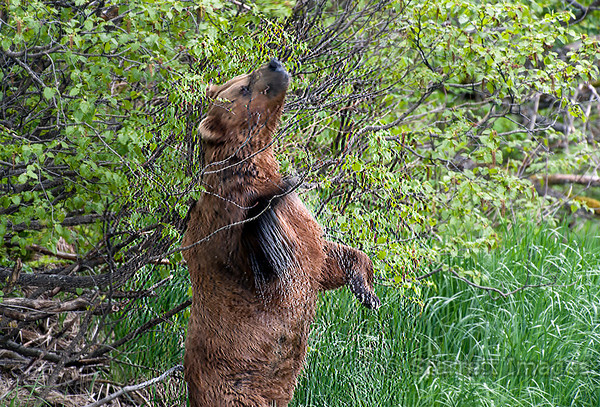Boar scent marking a tree after a swim across the river.