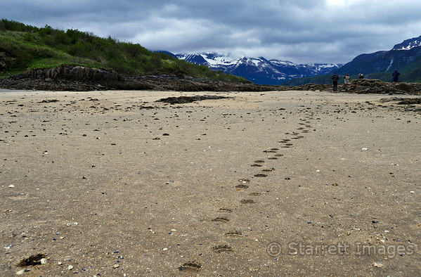 Bear tracks on a pristine beach