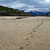 Bear tracks on a pristine beach