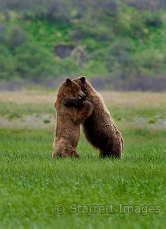 Bears sparring