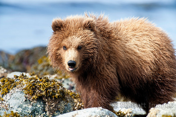 Brown bear cub looking for food on the beach