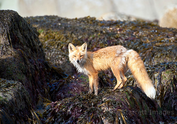 Red fox, beginning to lose some of his thick winter coat