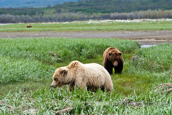 Boar bear following a sow who is less than interested