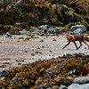 Red fox looking for crustaceans on the beach
