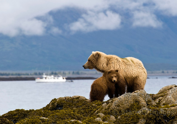 Sow with cub, Coastal Explorer in the background.