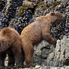 Mom munches on some kelp while her year old cub goes for the exposed mussels.