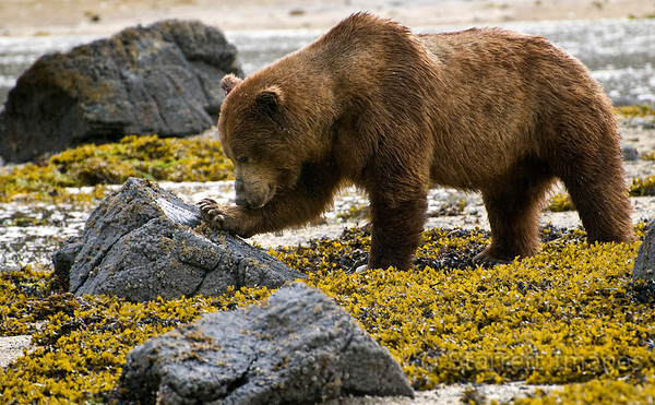 Bears use their thick paw pad to squash barnacles on the rocks at low tide.