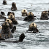 A colony of Sea Otters
