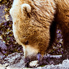 Bear eating a clam