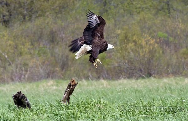 Bald eagle takeoff