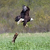 Bald eagle takeoff