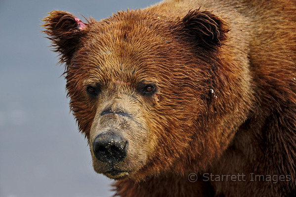 Typical large brown bear boar.  Right ear wound and scarred nose attest to the hard life they lead competing for sows.