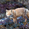 Red fox, shedding fir for the summer.  He's standing on exposed kelp at low tide.