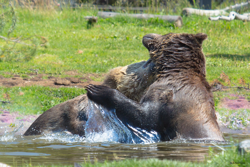 Grizzly Bears battling II