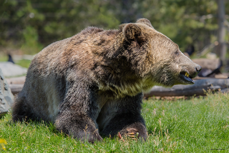Smiling Grizzly Bear